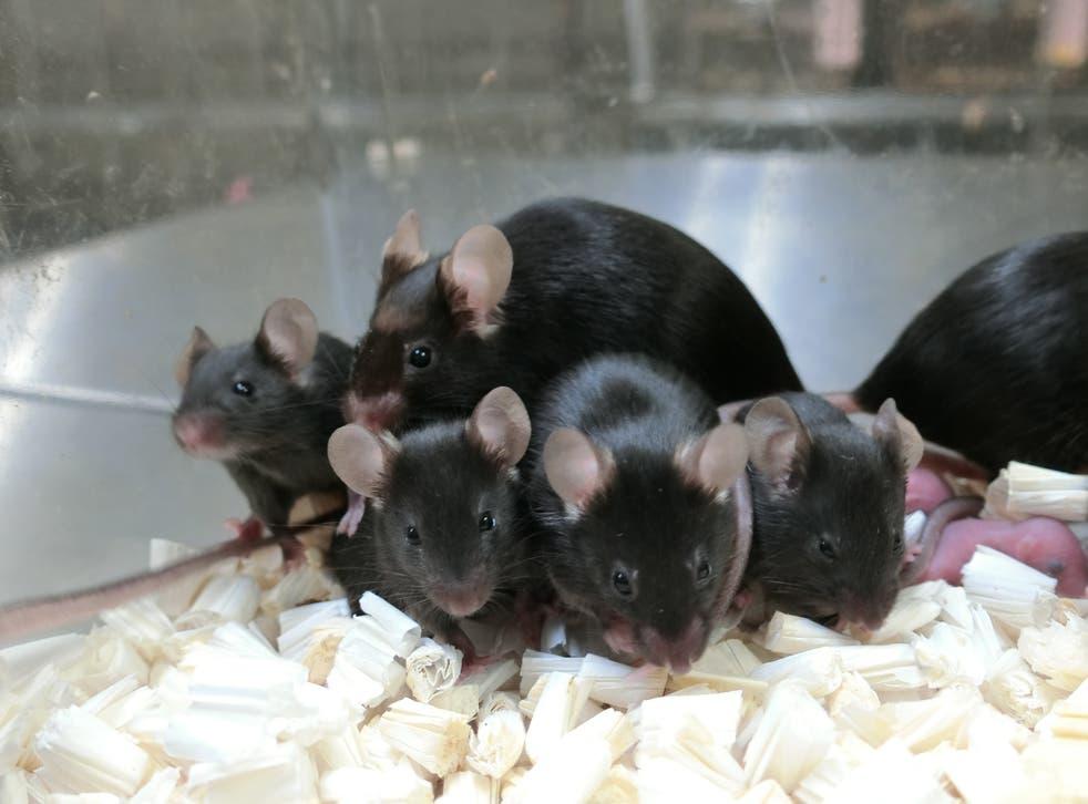 Tikus Luar Angkasa Lahir dari Sperma yang Disimpan di Antariksa! taken of healthy offspring and next generation of mice derived from space-preserved sperm</p>