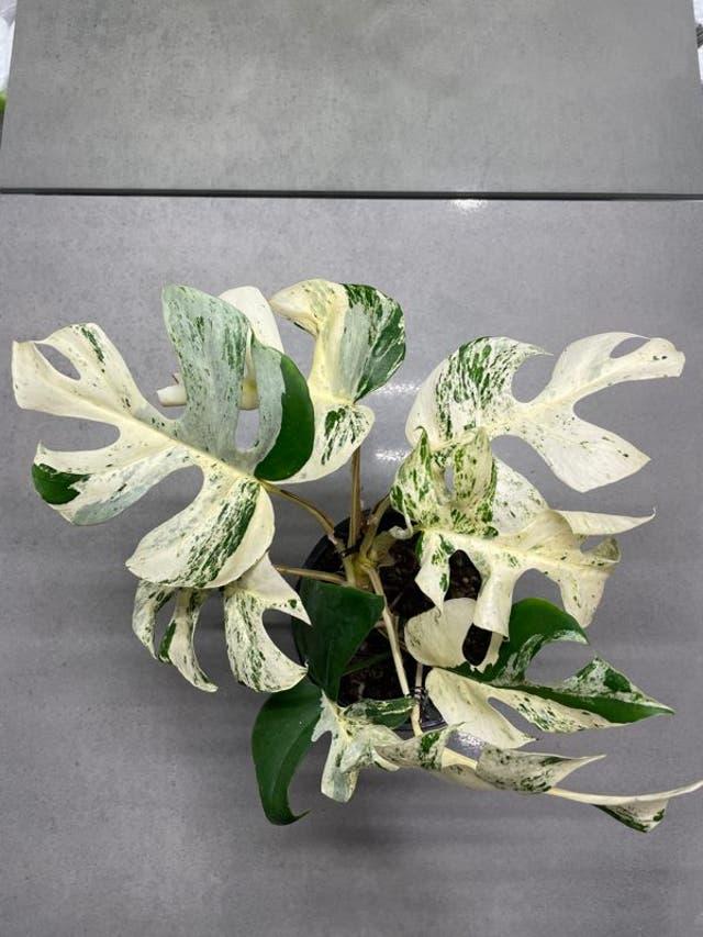 <p>Rhaphidophora Tetrasperm for auction on Trade Me</p>