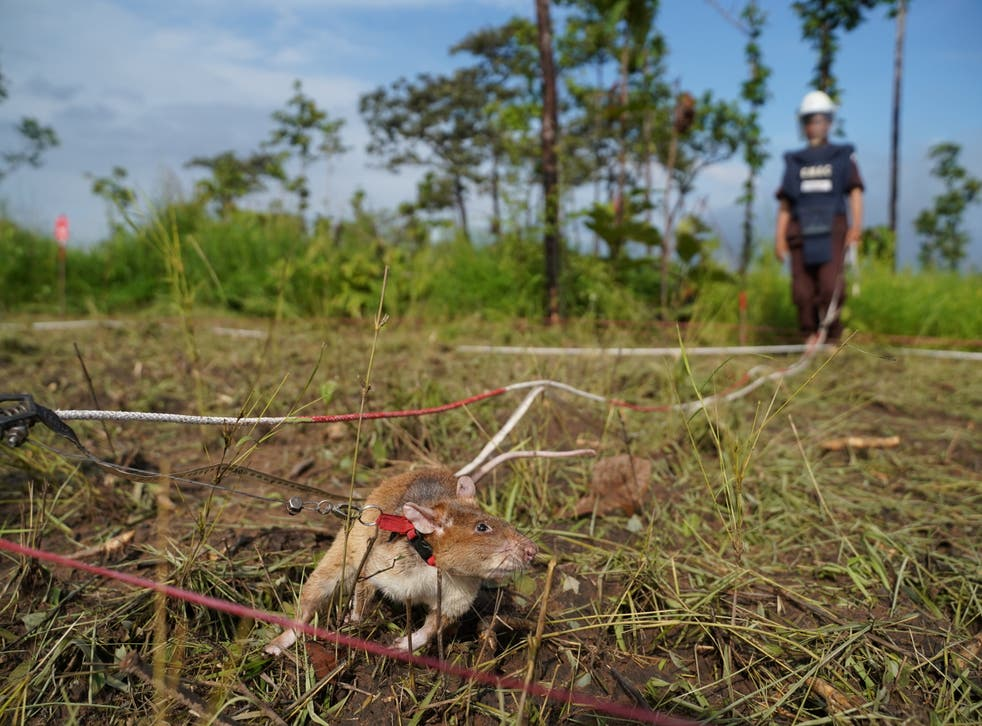 <p>A mine detection rat sniffs for landmines in an area being demined in Preah Vihear province, Cambodia</p>