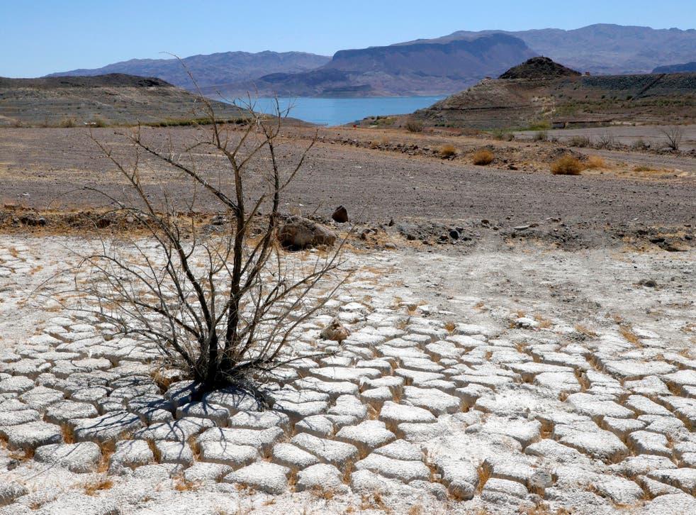 <p>El lago Mead se ve en la distancia detrás de un arbusto de creosota muerto en un área de tierra seca y agrietada que solía estar bajo el agua.</p>