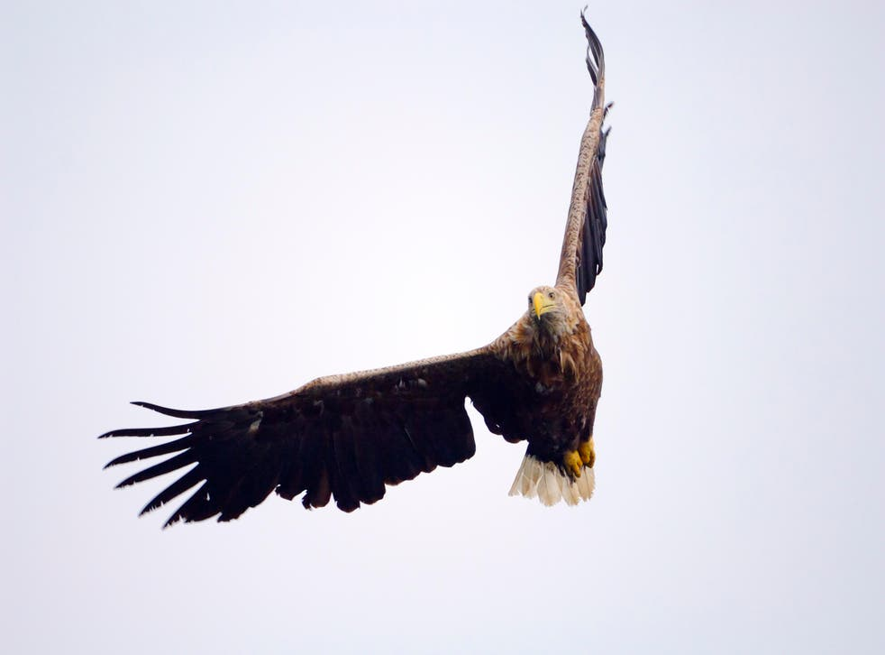 <p>A pair of white-tailed eagles were spotted 'nest prospecting' in Loch Lomond earlier this year</p>