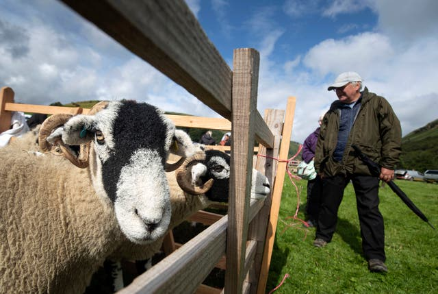 Sheep during the Muker Show, a traditional agriculture and horticultural show, in Yorkshire Dales National Park