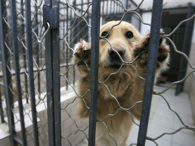 <p>Un perro que fue incautado debido a las preocupaciones de las autoridades de Beijing por el creciente número de caninos en la ciudad y la creciente incidencia de rabia.</p>
