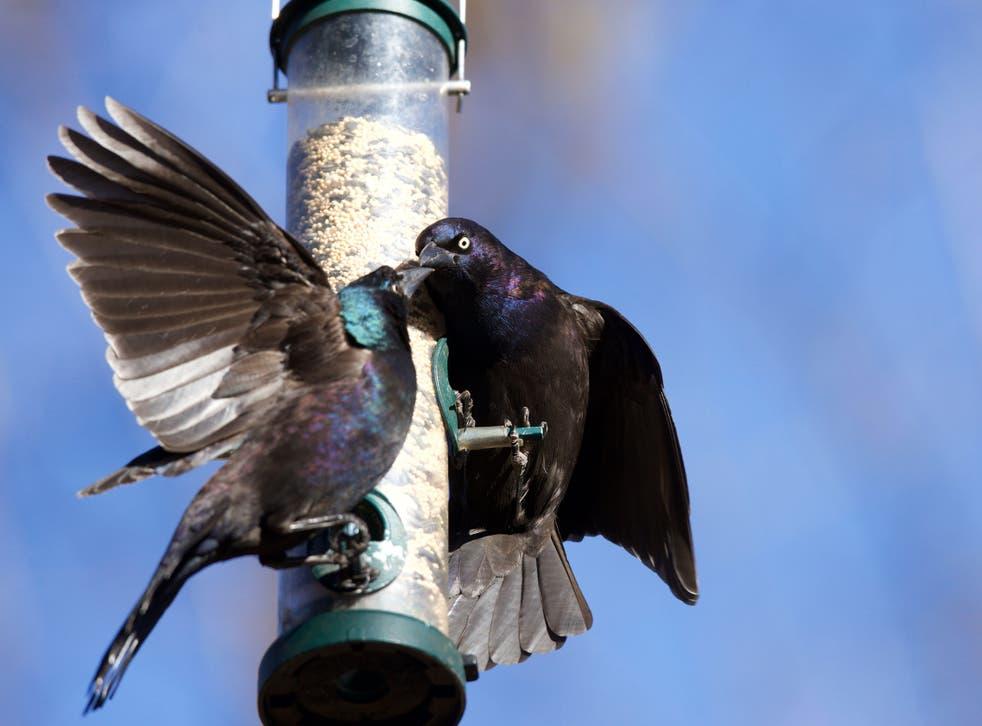 <p>Grackles feeding on a bird feeder </p>