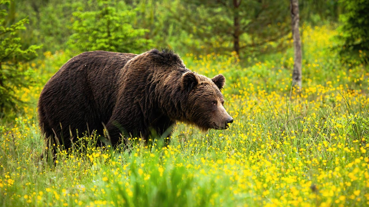 Bear kills man in Slovakia in first fatal attack 'in 100 years'
