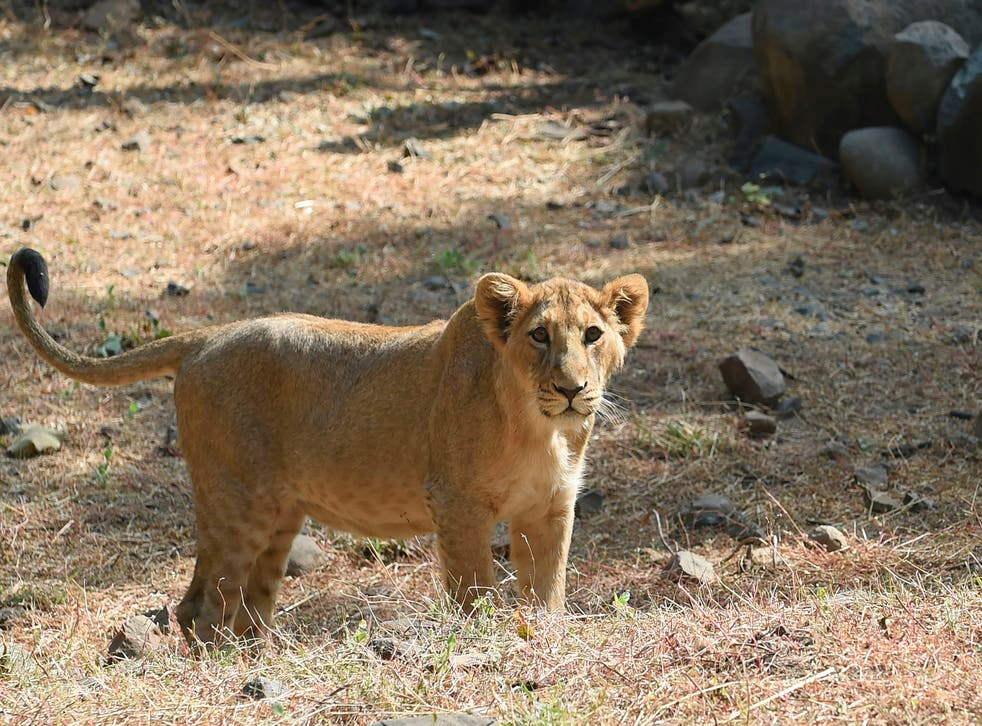 <p>FILE: A lion cub is seen inside an enclosure at the Sakkarbaug Zoological Garden, which takes part in a captive breeding programme for endangered Asiatic lions, in Junagadh, some 320 kilometres from Ahmedabad</p>