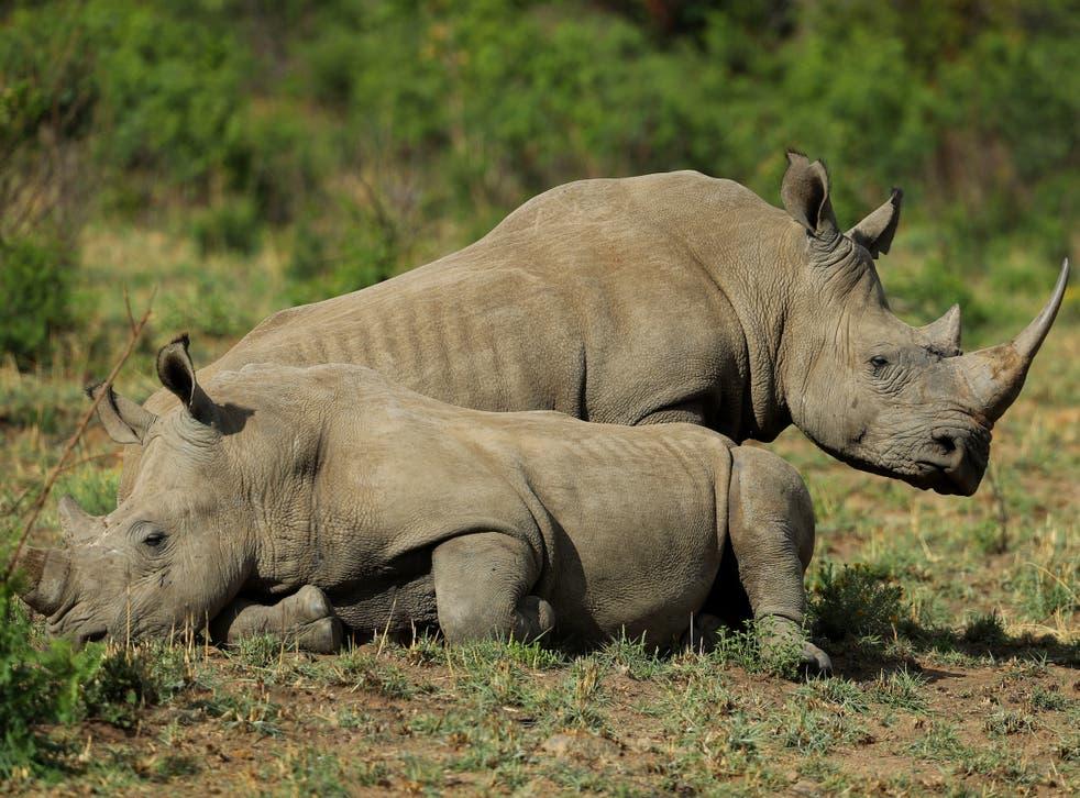 <p>White rhino at Pilanesberg National Park in South Africa</p>