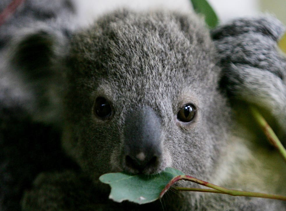 <p>'We want to see koala populations recover'</p>