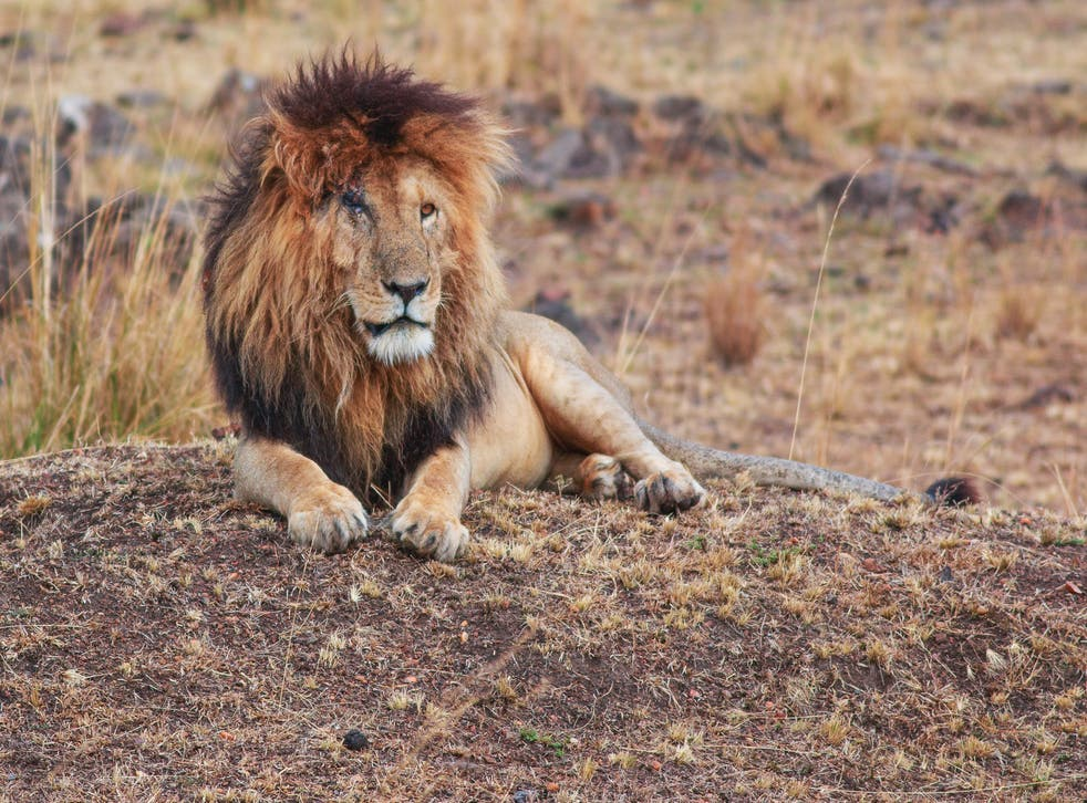 <p>Scarface the lion, in the Maasai Mara Game Reserve in 2018</p>