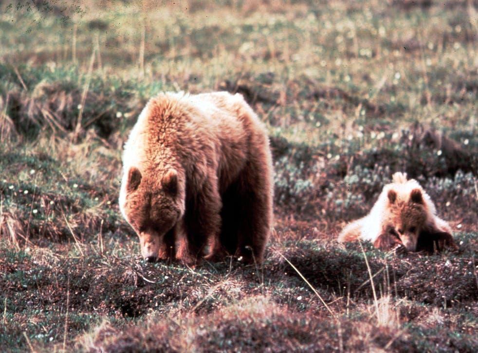 <p>Two Alaskan brown bears.</p>