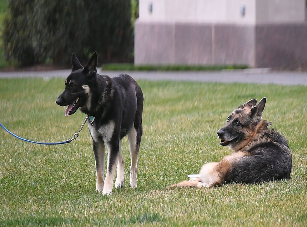 <p>The Bidens' dogs Champ (R) and Major are seen on the South Lawn of the White House in Washington, DC, on March 31, 2021</p>