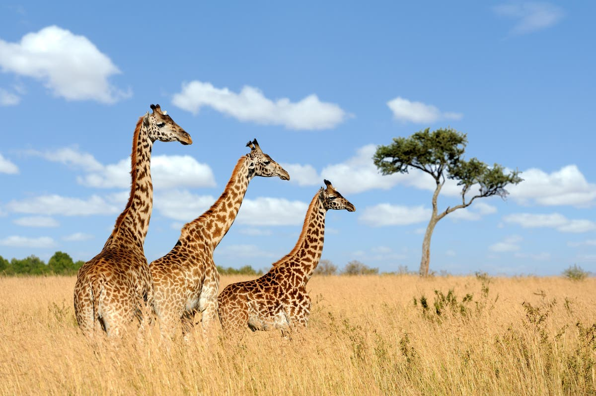 World Giraffe Day: 8 things you never knew about this safari staple