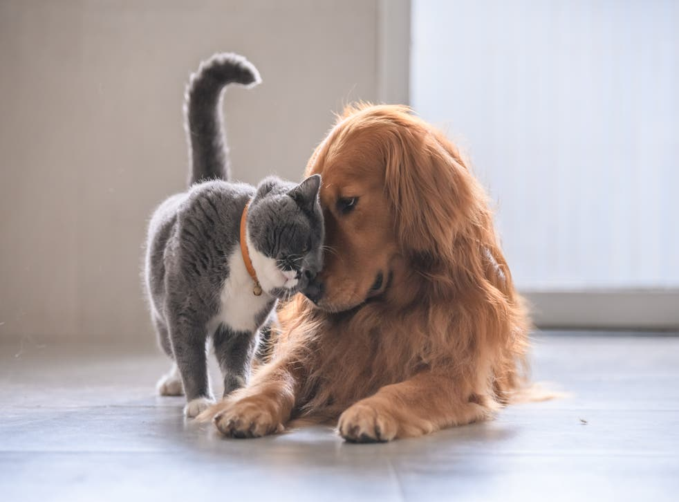 <p>A 'substantial proportion' of pet cats and dogs may catch Covid-19 from their owners, a new study suggests</p>