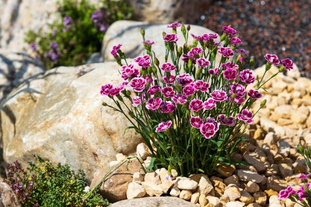 plant in rockery