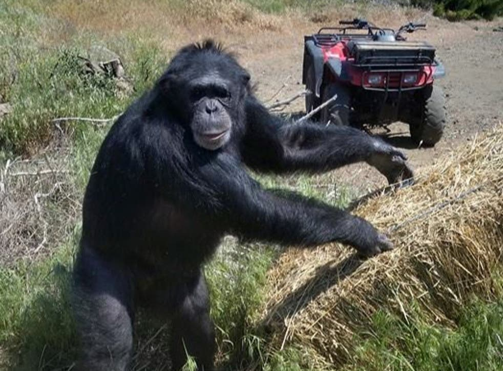 <p>Chimpanzee Buck turned on his owners at the Buck Brogoitti Animal Rescue in Oregon</p>