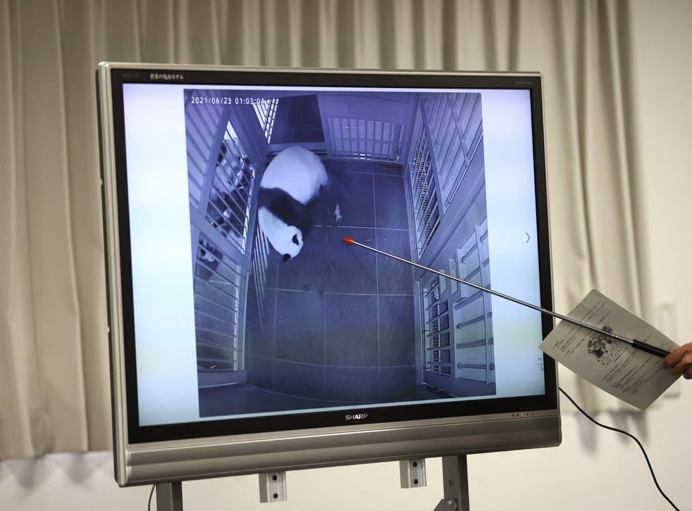 <p>Ueno staff member Naoya Ohashi points to a screen showing panda Shin Shin giving birth on 23 June, 2021</p>