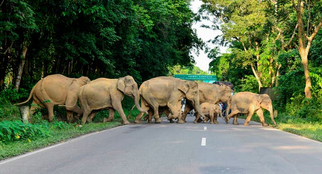 <p>Herd of wild elephants cross the National Highway-37 in search for safer places at the flood affected area of Kaziranga National Park in the India's northeast state of Assam</p>