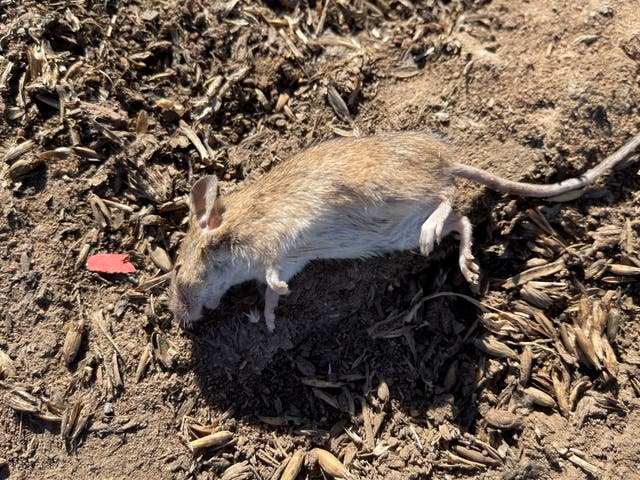 <p>Mouse plague already lasting nine months is thought to have caused $1bn of damage</p>