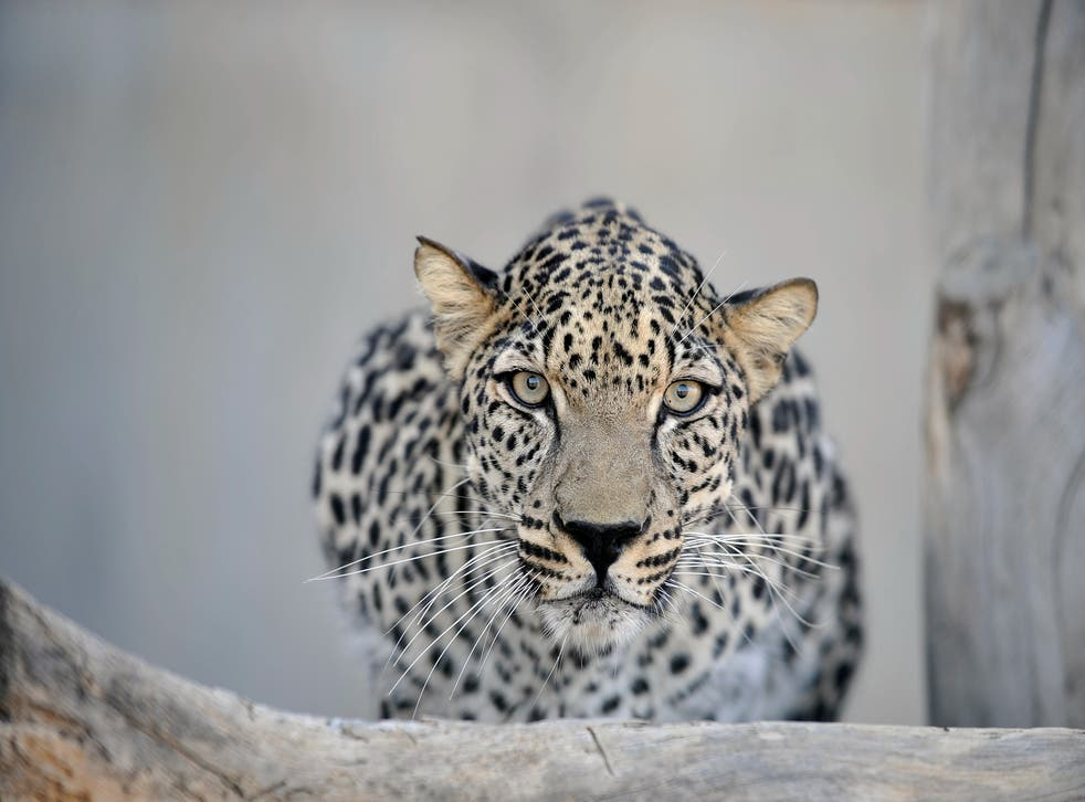 <p>The Arabian leopard is currently endangered but a rewilding initiative is looking to change that</p>