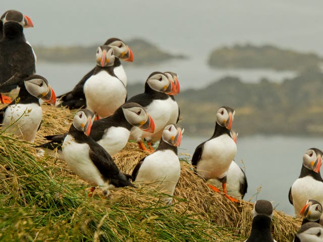 <p>Puffins have declined precipitously in recent decades as their prey has become less abundant through the climate crisis and overfishing</p>