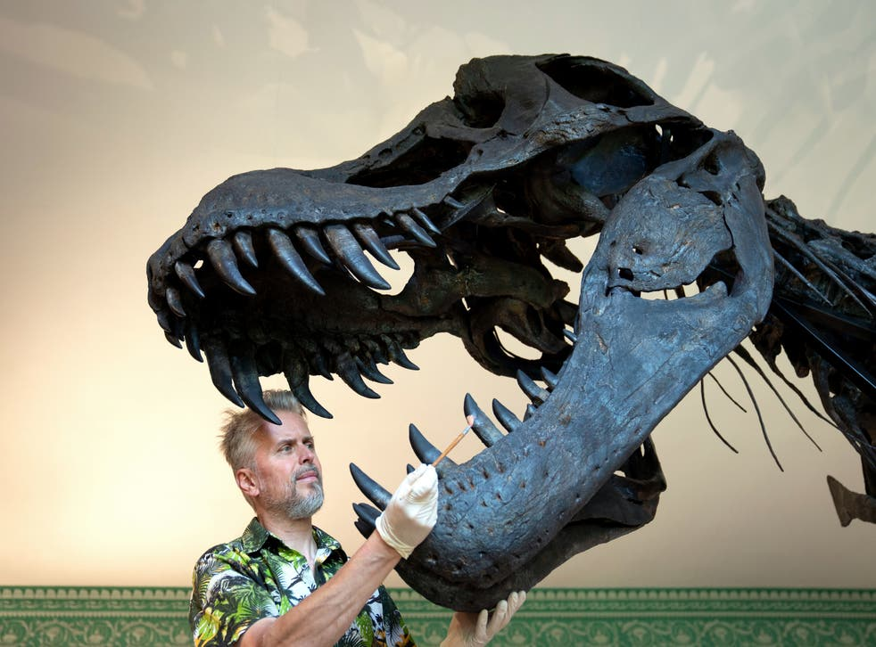 <p>Paleontological conservator Nigel Larkin dusts the teeth of Titus during a preview of the Tyrannosaurus Rex exhibition</p>