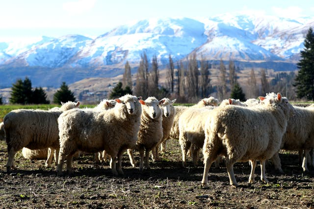 <p>Sheep are seem on farm land at the base of the crown range on 25 June 2020 in Queenstown, New Zealand</p>