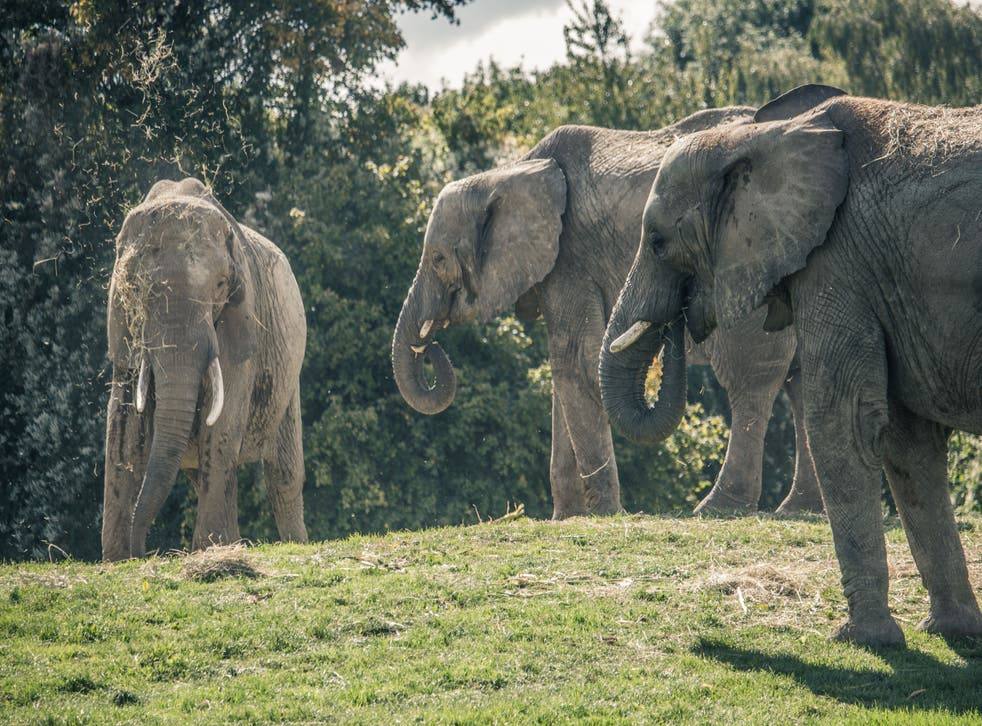 <p>Three of the elephants at Howletts Wild Animal Park in Kent</p>