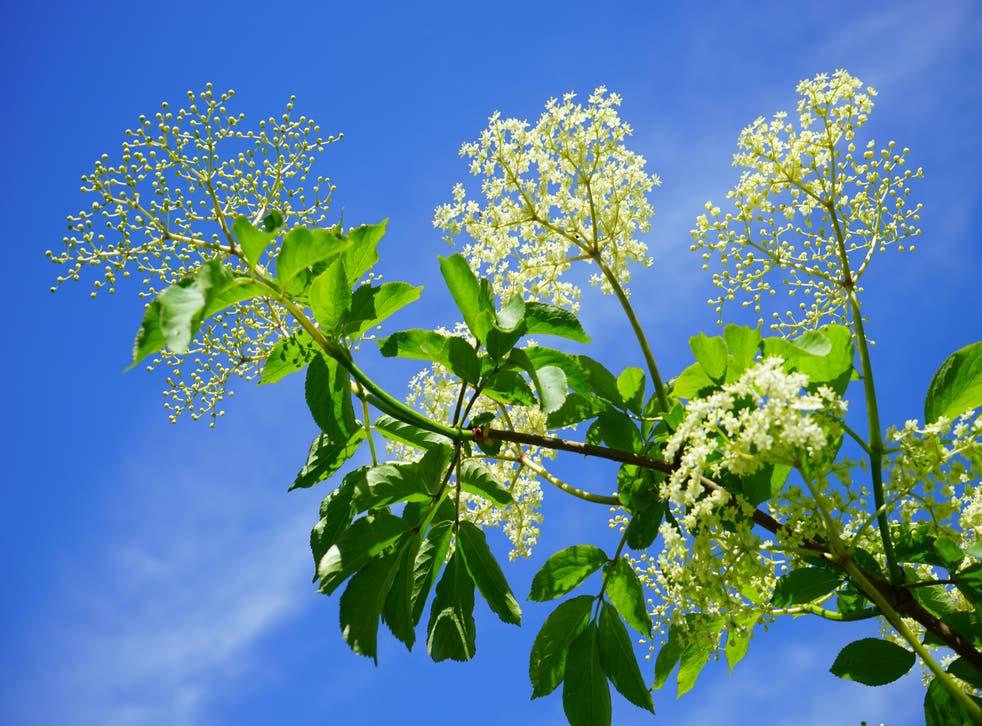 Elderflowers infront of a blue sky (handout/PA)