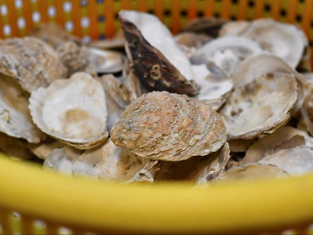 <p>An investigation has been launched and an Oyster farm closed due to at least 100 cases of people falling il</p>