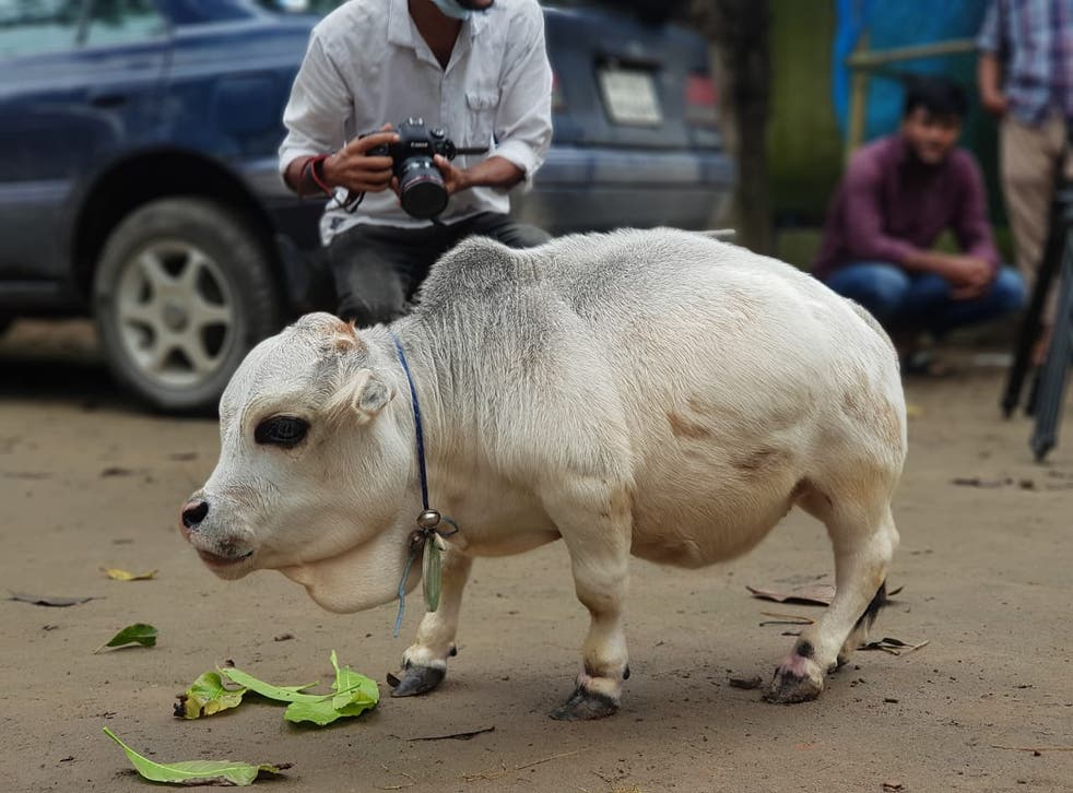<p>People take pictures of a dwarf cow named Rani at a farm in Bangladesh</p>