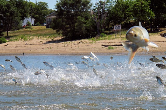 <p>The study found that invasive fish such as Asian silver carp and crustaceans such as American signal crayfish significantly reduced the abundance of other important organisms in lakes and degrade water quality</p>