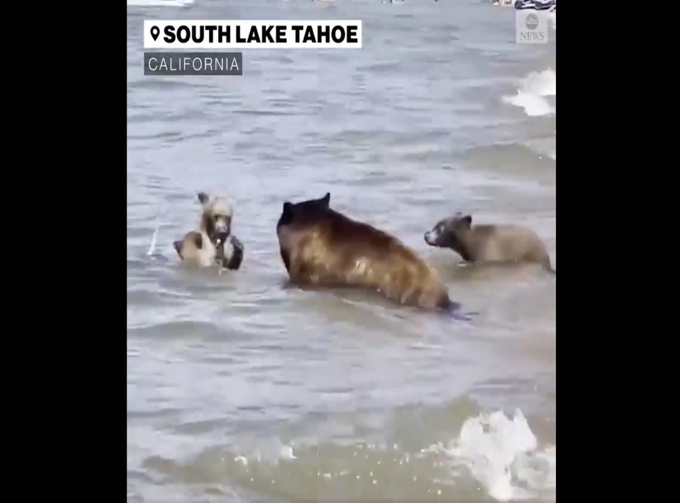 <p>A mother black bear and her three cubs were seen swimming on a packed beach in California</p>