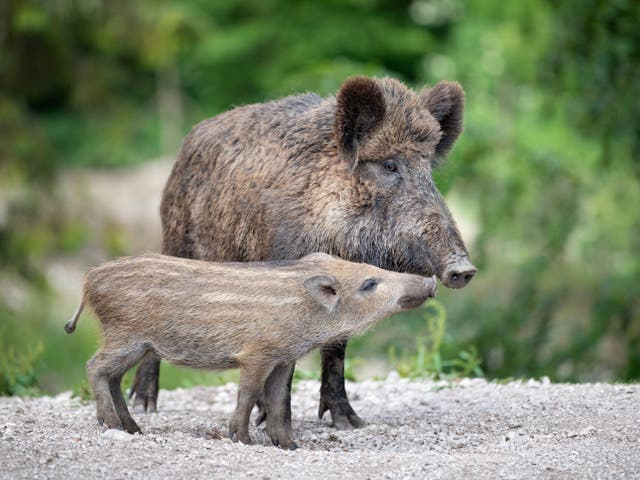 <p>A wild boar with its piglet - known in the UK as 'humbugs' due to their stripes which resemble the boiled sweets of the same name</p>