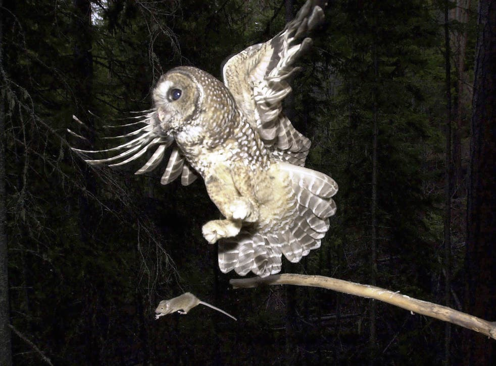 <p>The Biden adminstration proposals about the northern spotted owls have divided environmentalists and the timber industry</p>
