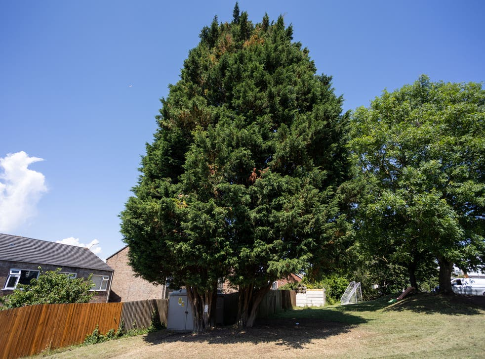 <p>The pair of Lawson cypress trees that are due to be felled</p>