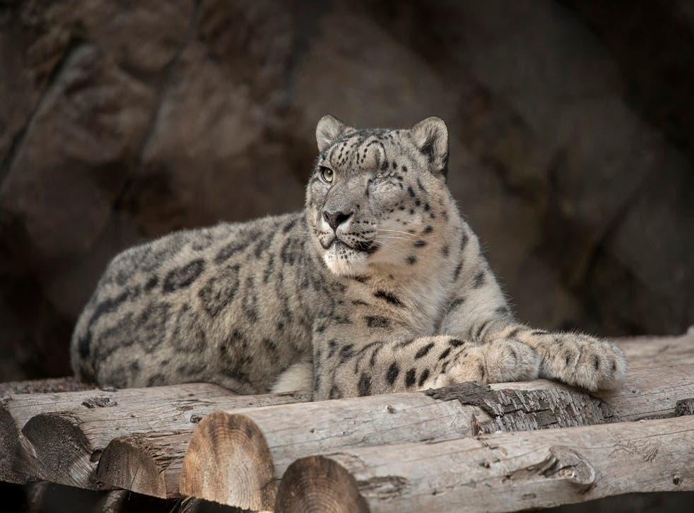 Virus Outbreak Snow Leopard Infected