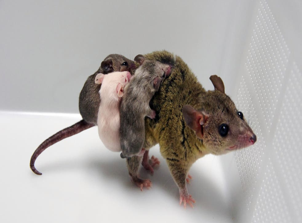 <p>Scientists at Japan's NIKEN institute created the first-ever genetically modified marsupial using the gene-editing technology CRISPR.</p>