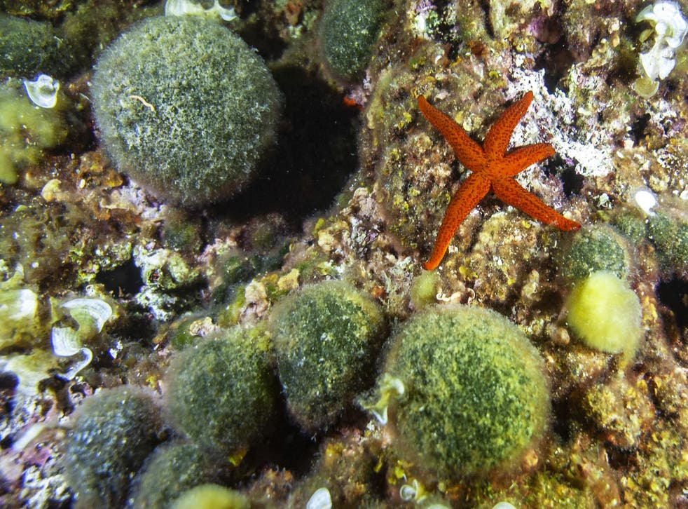 <p>Red starfish near Green sponge ball pictured in the Tiboulen du Frioul reef near Marseille, southern France</p>