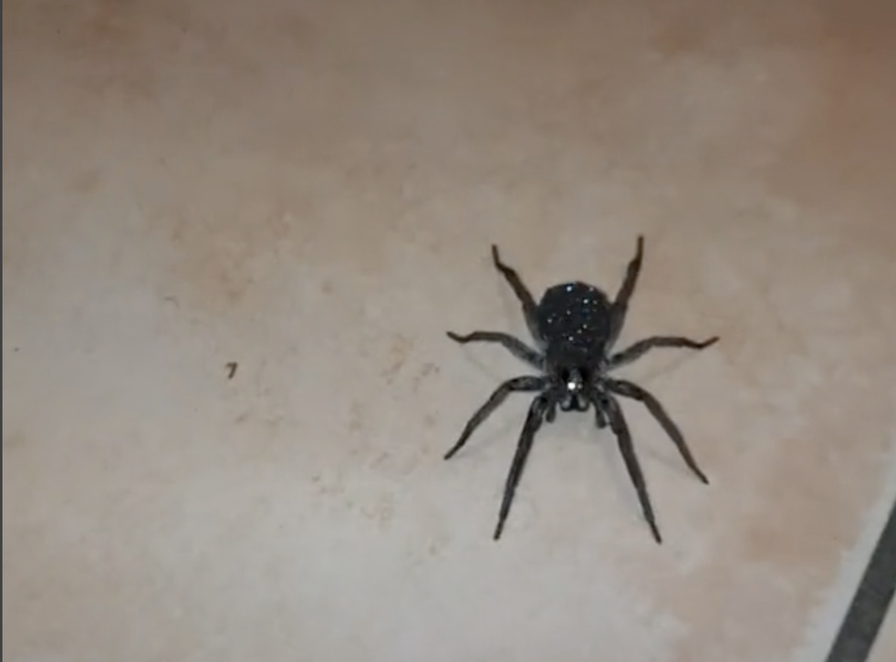 <p>This spider is a wolf spider who carries their babies on their back, which gives the impression they 'sparkle'</p>