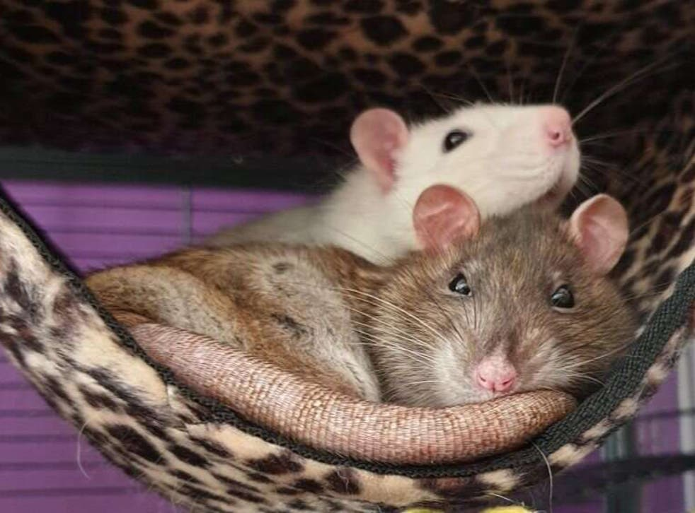 <p>Pet rats, belonging to one of the study's author's, cuddle in their cage</p>