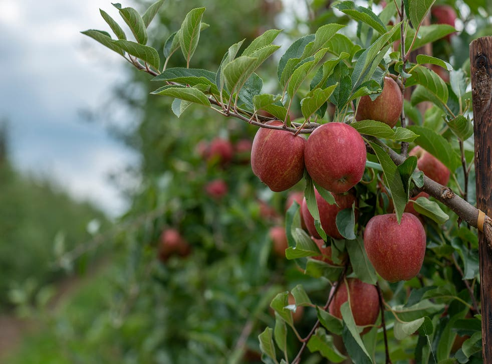 Camellia has bought the UK's second biggest apple farm in the UK (Camellia/PA)