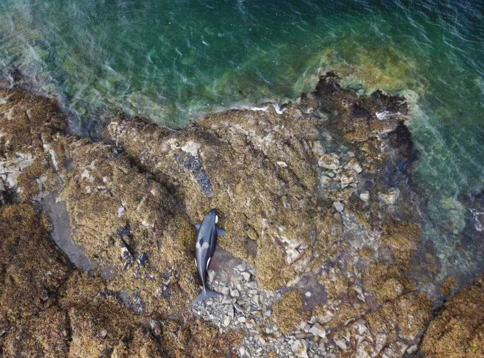 <p>A beached killer whale in Prince Edward Island, Alaska, on Thursday, 29 July, 2021.</p>