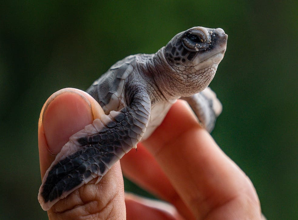 <p>Many young turtles feed near the surface of the ocean, where plastic accumulates </p>