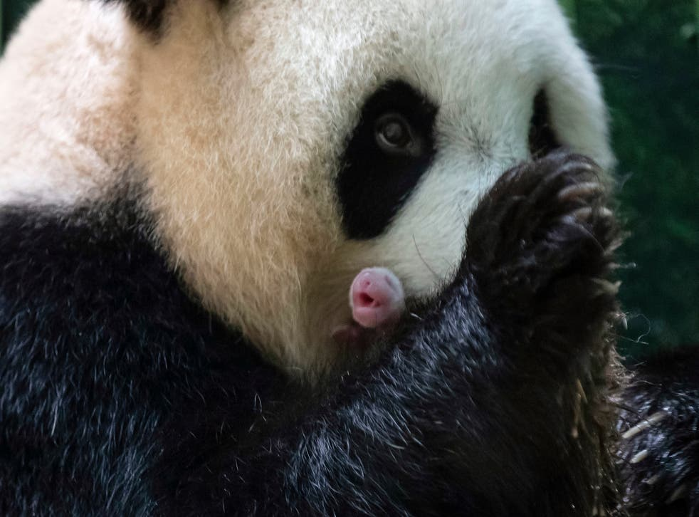 <p>Vets have been helping Huan Huan with the care of the newborn panda twins</p>