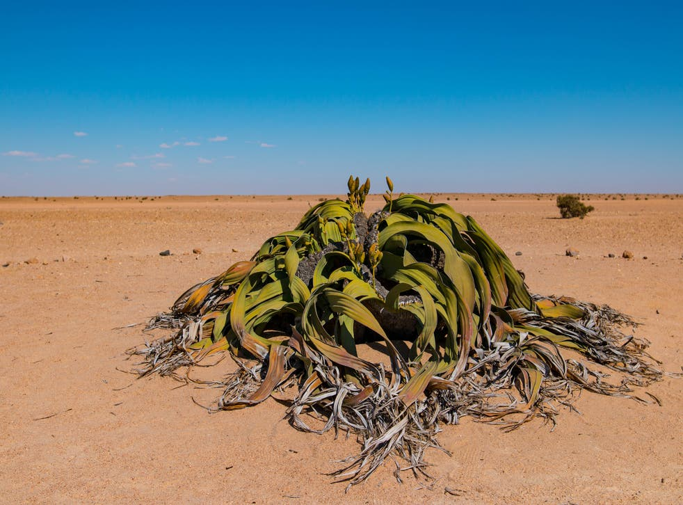 <p>Welwitschia can live for thousands of years</p>