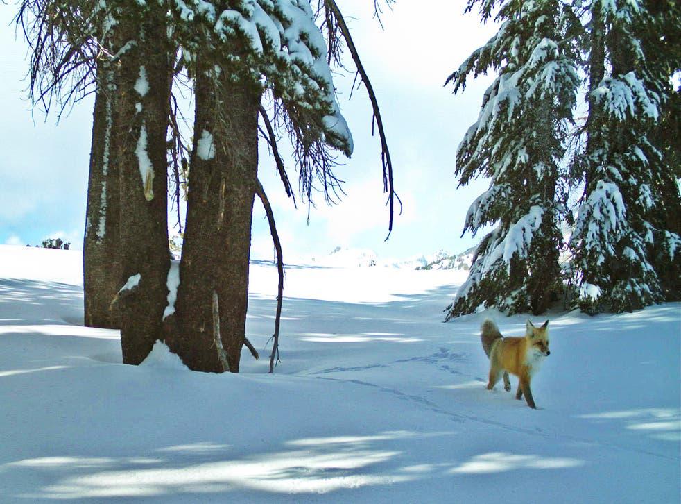 Sierra Nevada Red Fox Endangered