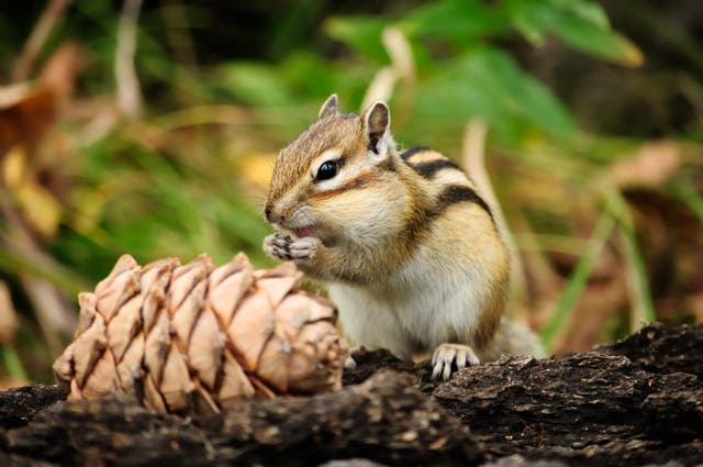 <p>Chipmunks found at California's Lake Tahoe have been found to be carriers of the plague.</p>