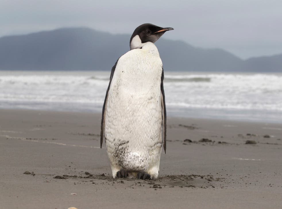 <p>U.S. officials have  announced a proposal to protect Emperor penguins under the Endangered Species Act.</p>