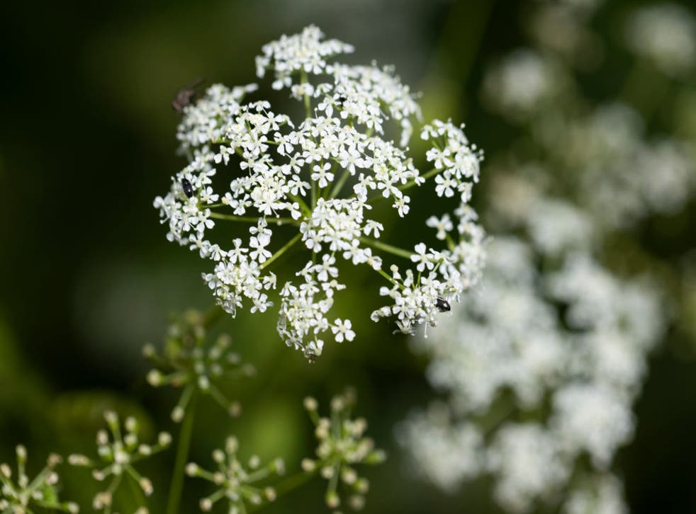 <p>Hemlock, arguably the most infamous of poisonous plants, grows in a field beside a road. There are concerns it is finding its way into people's gardens</p>