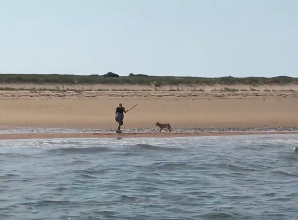<p>Marcy Sterlis swings a stick at a coyote menacing her on a Massachusetts beach.</p>